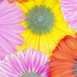 Royalty-Free Stock Photo: Colorful gerberas