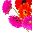 Gerberas flowers — Stock Photo
