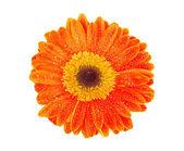 Orange gerbera — Стоковое фото