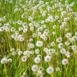 Field of dandelions — Foto Stock
