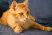 Red tabby cat on arm chair. — Stock Photo