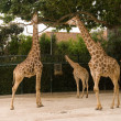 Stock Photo: Giraffe in Lisbon zoo