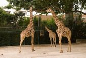 Giraffe in Lisbon zoo — Stock Photo