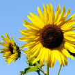 Stock Photo: Yellow sunflowers
