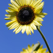 Yellow sunflowers over blue — Stock Photo