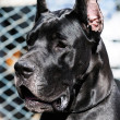 Black Great Dane Dog portrait — Stock Photo