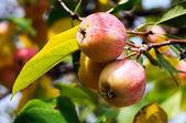 Ripe apples branch background — Zdjęcie stockowe