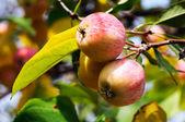 Dojrzałe jabłka oddział tło — Zdjęcie stockowe