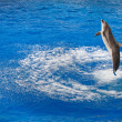 Bottlenose dolphin jumping out of water — Stock Photo