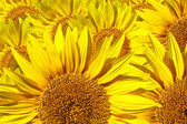 Sunflower — Zdjęcie stockowe