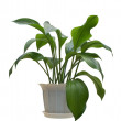 Indoor plant. — Stock Photo #4806839