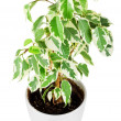 Ficus tree — Stock Photo #5004157