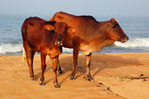 Sacred Cow and Calf — Stock Photo