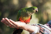 Australian king parrot (female) — Stock Photo