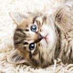 Funny kitten in carpet — Stock Photo