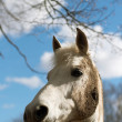 Royalty-Free Stock Photo: White horse in a dirt