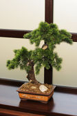 The Japanese dwarfish pine — Stock Photo