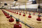 Poultry farm — Stock Photo
