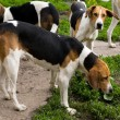 Rack of hounds of dogs — Stock Photo