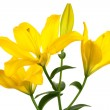 Beautiful yellow lily — Foto Stock #4494339