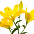 Stock Photo: Beautiful yellow lily
