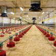 Stock Photo: Poultry farm