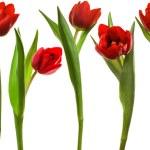 Постер, плакат: Red tulip