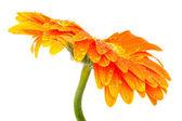 Orange flower — Stock Photo