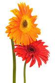 Dvě květiny — Stock fotografie