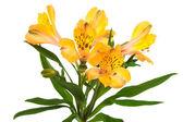Beautiful orange alstroemeria — Stock Photo