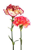 Two carnation — Stock Photo