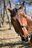 Beautiful race horse — Stock Photo