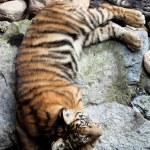 Tiger cub — Stock Photo
