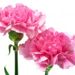 Two pink carnation — Stock Photo