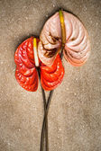 Anthurium on a brown marble — Stock Photo