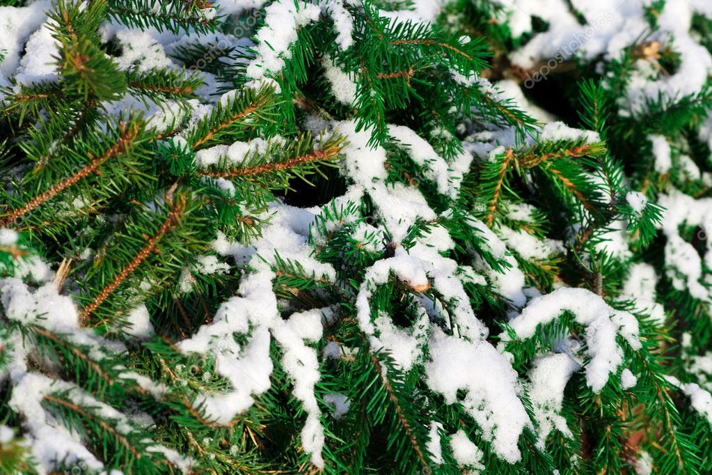 Green tree covered with snow close up — Stock Photo #5241941