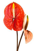 Two anthurium — Stock Photo