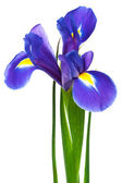 Purple iris — Stock Photo