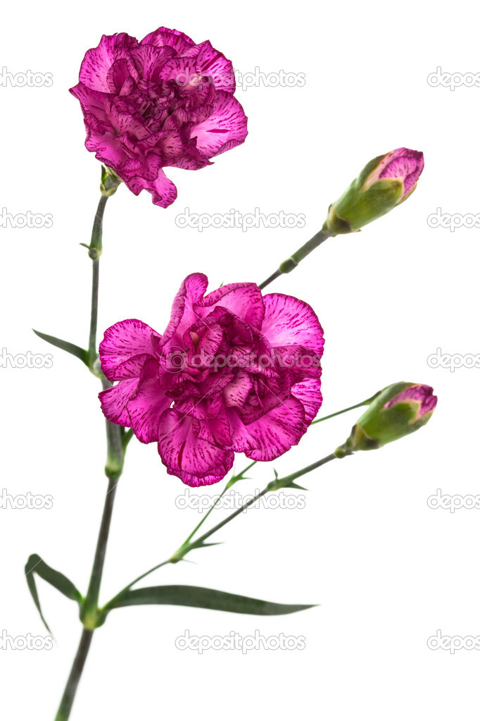 在白色背景上的美容紫色康乃馨– 圖庫圖片