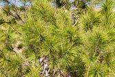 Pines branch — Stock Photo