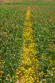 Road from yellow camomile — Stock fotografie