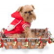 The doggie Griffon Bruxellois in a New Year's basket — Stock Photo