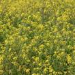Yellow flowers field — Stock Photo