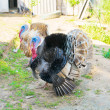 Stock Photo: Turkeys cock