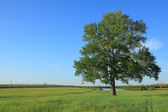 Lone poplar — Stock Photo