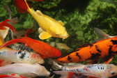 Tropical colorful fish — Stock Photo