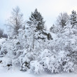 Covered trees in snow in the winter forest - Stock Photo