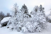 Covered trees in snow in the winter forest — Stock Photo