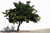 Oranges tree — Stock Photo