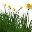 Stock Photo: Yellow spring daffodils in green grass isolated on white